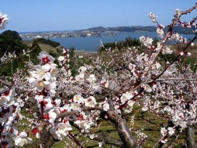 画像2: 良熟梅酒「野花(のきょう)」日本酒仕込 500ml